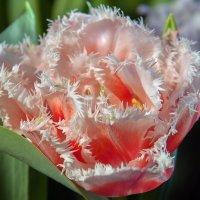 Сорт бахромчатого тюльпана Qunslaand :: Ольга Дядченко