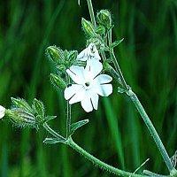 цветок полевой :: prokyl