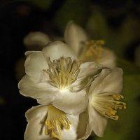 Но каждый год жасмин парит живым распахнутым соцветьем :: Tatiana Markova