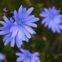 Цикорий цветёт :: Александр Крупский