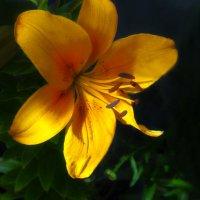 Жёлтая лилия :: Дубовцев Евгений