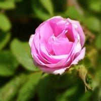 парковая роза :: linnud