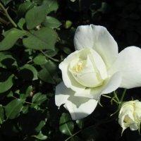 """""""Всё в белой розе без упрёка"""" :: Galaelina ***"""
