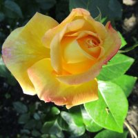 """Роза – символ совершенства, мудрости и чистоты."" :: Galaelina ***"