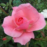 """""""За красоту мы любим розы, их дивный запах, аромат..."""" :: Galaelina ***"""