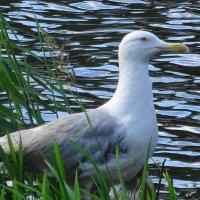 Редкая гостья на озере в городском парке :: Маргарита Батырева