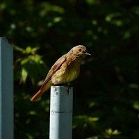 горихвостка :: linnud