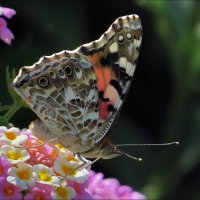 Бабочка :: Андрей Медведев