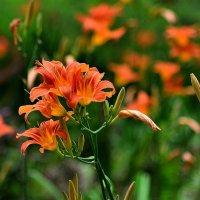 Летние цветы... :: Юрий Анипов
