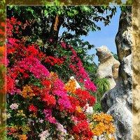 Бугенвиллия - разнообразие цветов и оттенков :: Дмитрий Боргер