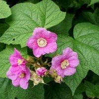 Малина душистая (Rubus odoratus) :: Елена Павлова (Смолова)