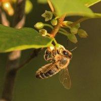 пчелка :: оксана