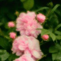 Розовые розы :: Андрей Селиванов