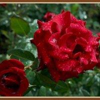 Розы под  дождем :: Владимир Бровко