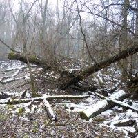 Лес в пойме Оби. Туман, бурелом. :: Elena Sartakova