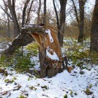 Лес в пойме Оби. Пень в осенний день. :: Elena Sartakova
