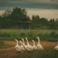 Гуси-лебеди :: виктория иванова