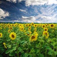 В солнечном поле :: Виктория Власова