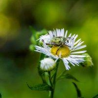 Цветок и жучок :: Юрий Стародубцев