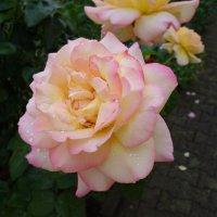 Розы под дождем... :: Galina Dzubina