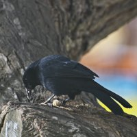 обед. Scrub Blackbird (Dives warczewiczi) Черный дрозд :: Svetlana Galvez