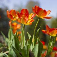 Тюльпаны :: Дима Пискунов