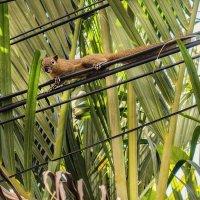 Индонезийская белка-тупай :: Александр