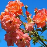"""Rosa floribunda """"Westerland"""" :: Swetlana V"""