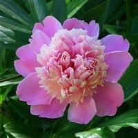 Розовый пион. :: Наталья