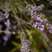 Пчела и лаванда :: Алиса Нелеп