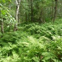 В лесу в июле :: Галина