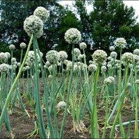 Лук на семена :: Надежда