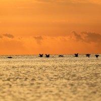 пеликаны на рассвете :: Naum