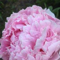 Пион в моем саду (1) :: Ekaterina Podolina