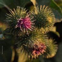 тоже растение :: Роза Бара