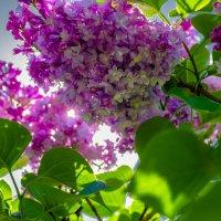 Цветет сирень в Сиреневом саду 2 :: Алексей Ларин
