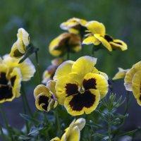 цветики анютки :: gribushko грибушко Николай