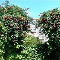 Заросли кампсиса и девичьего винограда :: Нина Корешкова