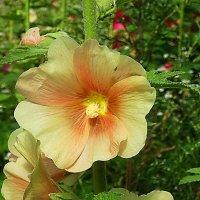 Мальва - кремовый цветок :: Маргарита Батырева