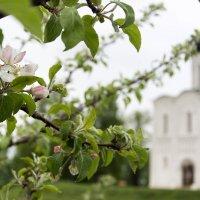 В цвету яблони :: Игорь Винокуров