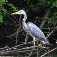 Цапля красивая птица, шея у цапли выгнута в крючок :: Маргарита Батырева