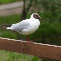 чайка :: Анатолий Гагарин