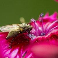 Мушка на цветке гвоздики :: Valentina M.