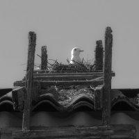Чайка высиживает птенцов :: Алена Малыгина