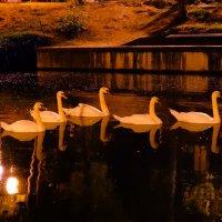 Семейство лебедей плывет по воде :: Александра Жорова