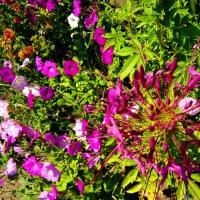 Цветы петуния и клеома :: Наталья (ShadeNataly) Мельник