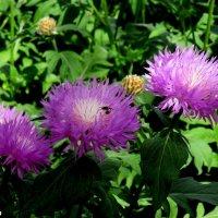 Садовая многолетняя гвоздика :: Нина Бутко