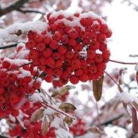 зимняя рябина :: леонид логинов