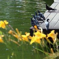 голуби и пруд :: Олег Лукьянов
