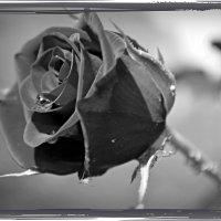 Черная роза в рамке :: Валентина Данилова